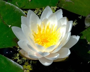 white-lotus-with-golden-eye